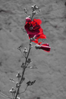 Stock Rose, Strockrosen, Flowers, Garden, Red