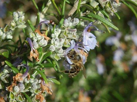 Rosemary, Honeybee, Bees, Bee, Honey, Insect, Honeycomb