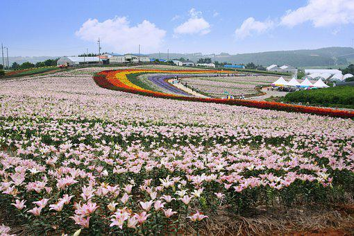 Tai'an, Lily Festival, Landscape, Travel