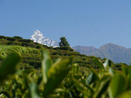 Lwang Village, Tea Cultivating Area, Tea Leafs, Nepal