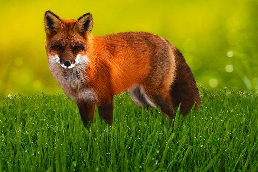 Animal World, Fuchs, Wild Animal, Red Fox, Fur, Meadow