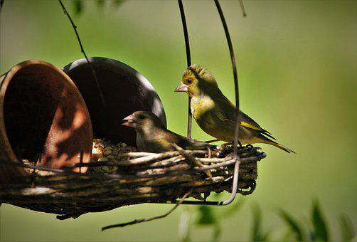 Greenfinch, Feeding, Feeding Place, Bird, Nature