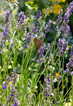 Small Heath Butterfly, Butterfly, Insect, Nature