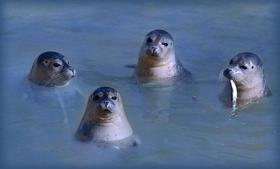 Seal, Howler, North Sea, Water, Animals, Cute, Swim