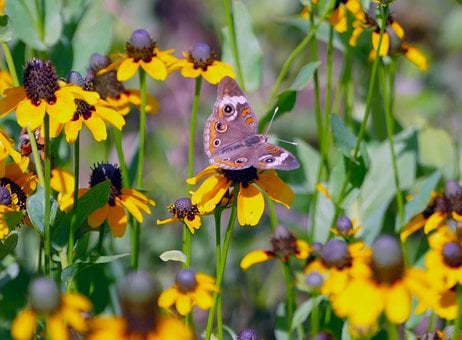 Butterfly, Insect, Bug, Flowers, Pollen