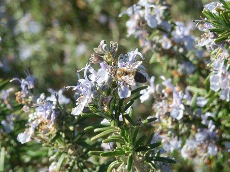 Honeybee, Rosemary, Bees, Bee, Honey