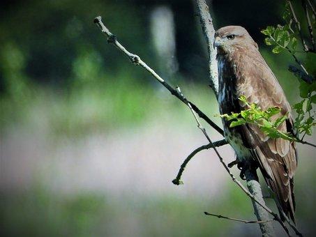 Common Buzzard, Bird Of Prey, Bird