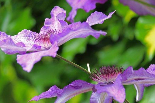 Clematis, Climber Plant, Close Up, Flora, Garden, Bloom