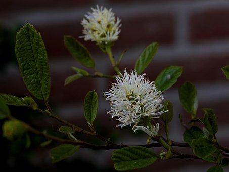Forthergilla Major, Lampenpoetserstruik, Flower, Garden