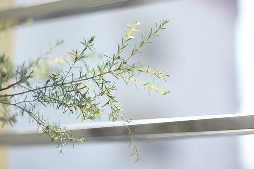 Baeckea Frutescens, Mf Lens, Tree, Green