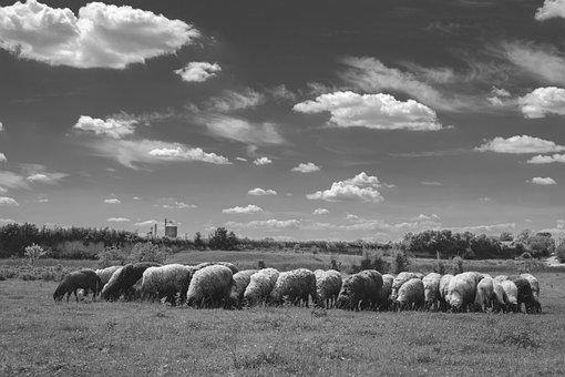 Sheep, Sky, Grass, Landscape, Illumination, Minimal
