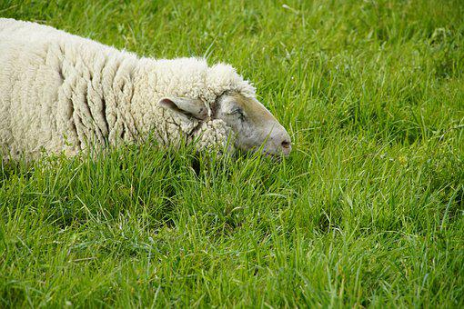 Nap, Sleeping, Meadow, Sheep, White, Green, Relaxation