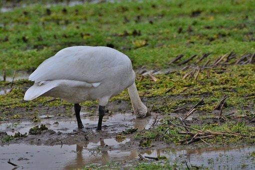 Trumpeter Swan, Bird, Nature, Wildlife, Waterfowl