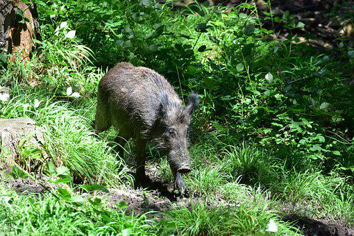 Wild Boar In The Wilderness, Forest, Wild, Nature