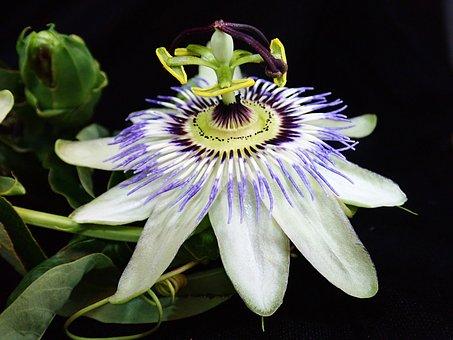 Flower, Stamens, Passion Fruit, Vine