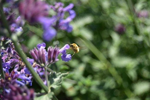 Bombylius Major, Bombyliidae, Purple Plant
