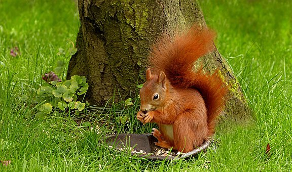 Animal, Rodent, Mammal, Squirrel, Scirus Major Vulgaris