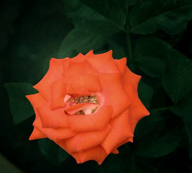 Night View Of Red Rose, Single, Flower, Rose, Love