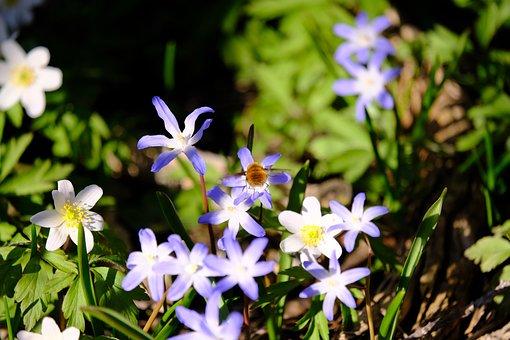 Scilla, Wood Anemone, Bombylius Major