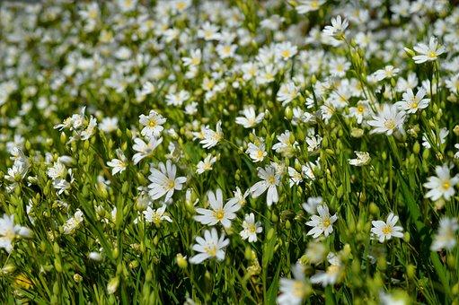 Stellaria Holostea, Stitchwort, Spring, Flowers White