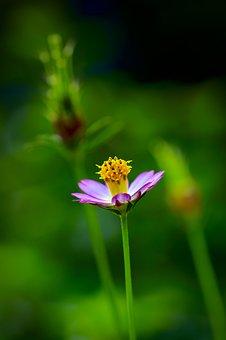 Cosmos Flower, Asteraceae, Cosmea, Pink Petals