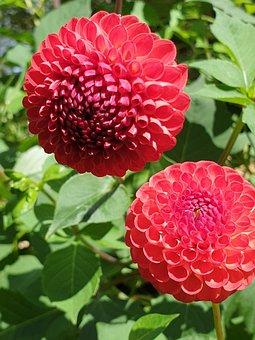 Dahlia, Red Dahlia, Flower, Bloom, Red