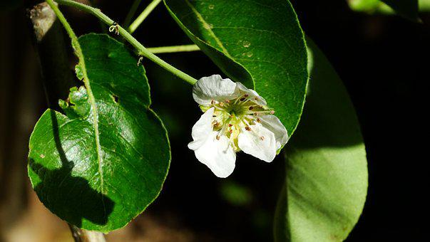 Blossom, Pear, Bloom, Spring, White, Petals, Nature