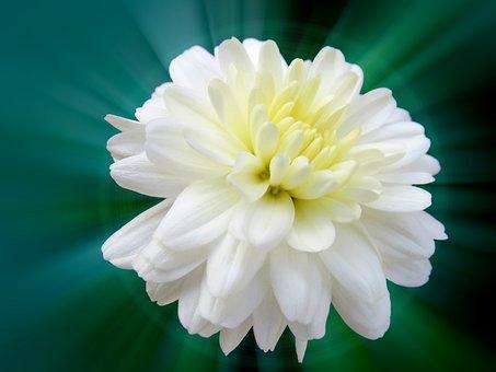 Chrysanthemum, White Chamanti, Chamanti