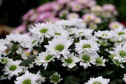 Chrysanthemum Morifolium, White, Flower