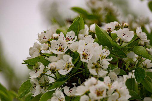 Flower, Pear Tree, Spring, Garden, Tree