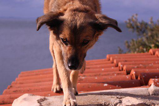 Dog, Roof, House, Pet, Domestic, Home, Animals, High