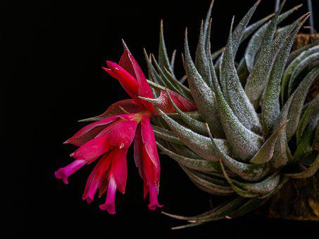 Flower, Flowering, Sukulent, Rumělková, Red, Pink