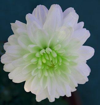 Chrysanthemum, Radium White, White, Flower