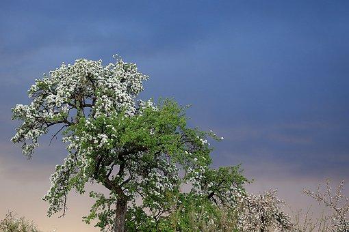 Fruit Tree Blossom, Tree, Spring, Blossom, Pear, April