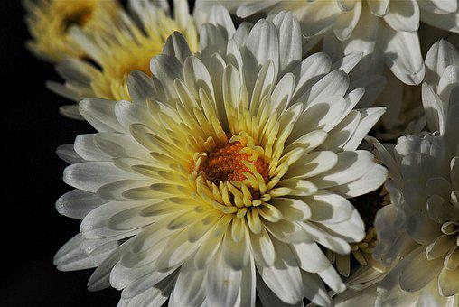 Chrysanthemum, Blossom, Bloom, White, Close Up, Flower