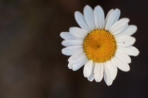 Daisy, White, Daisies, Flower, Spring