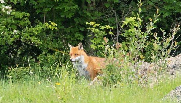 Fox, Wild Fox, Healthy Fox, Fox By Hawthorn Hedge