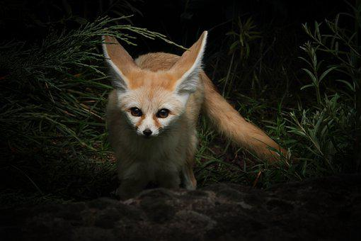 Fennec Fox, Fuchs, Zoo, Desert Fox