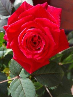 Rosa, San Valentino, Primavera, Estate, Natura