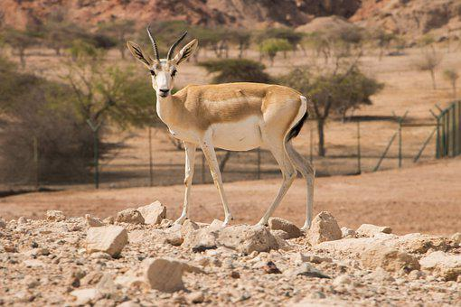 Sandgasell, Sir Bani Yas, Animals, United Arab Emirates