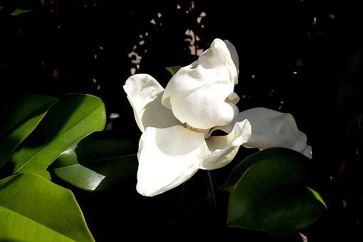 Magnolia Grandiflora, Tuliptree, Trees, Plants, Flower