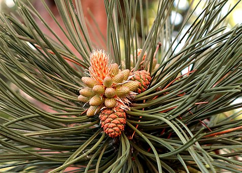 Pine, Pinus, Birth, Young Pinecone, The Growth Of The