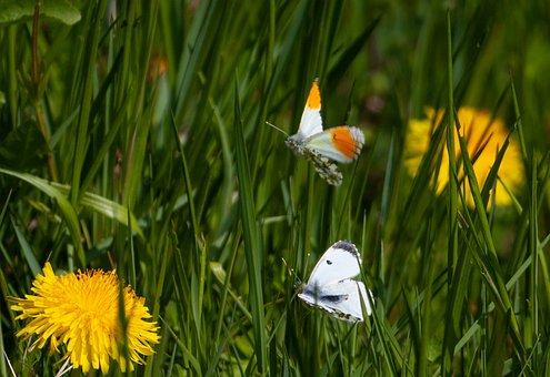 Orange Tip Butterfly, Male Orange Tip Butterfly