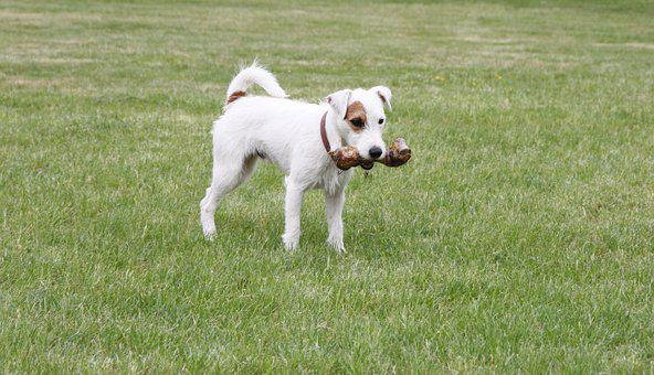 Parson Russell Terrier, Dog, Bone, Food, Purebred