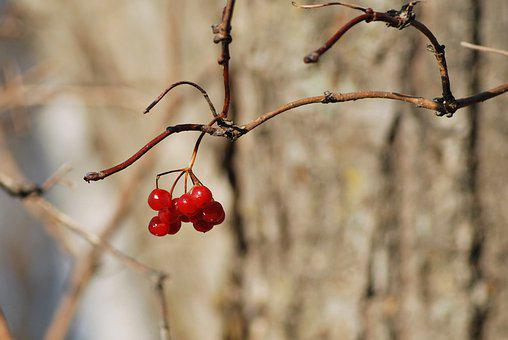 Mountain Ash, Bunch, Viburnum, Autumn, Berry, Red