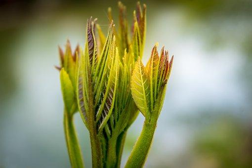 Mountain Ash, Leaf, Foliation, Spring, May, Tree