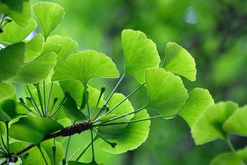 Leaves, Green, Tree, Ginkgo, Background, Biloba