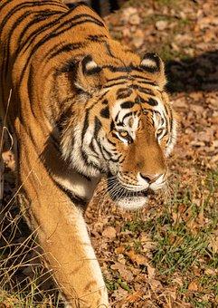 Tiger, Portrait, Head, Stripes, Cat