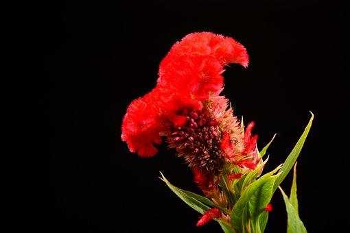 Flower, Red, Black, Rose, Roses, Garden, Love, Bloom