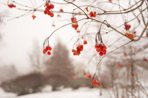 Rowan, Winter, Frozen, Wintry, Aesthetic, Mountain Ash